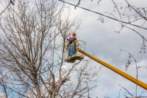 Utility workers pruning tree limbs near power lines.